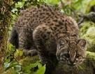 """Hi vọng cho loài """"mèo rừng nhỏ"""" bị đe dọa"""