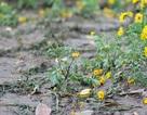 Vườn hoa bên hồ Gươm nát bươm sau Tết Dương lịch