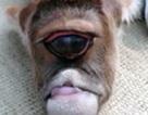 """Bê con một mắt đột biến được tôn sùng như """"thần"""""""