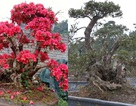 """Cận cảnh cây đỗ quyên 300 năm tuổi, đại gia Lào Cai """"hét giá"""" 1 tỷ"""