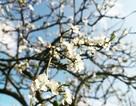 Mộc Châu mùa hoa mận: Điểm nào ngắm hoa đẹp nhất?