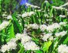 """Xuân về ngắm """"hoa tuyết"""" phủ trắng Tây Nguyên"""