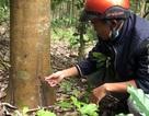 Hàng loạt cây cao su bị khoan lỗ, chết dần