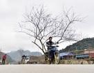 Đào rừng Sơn La bán tràn lan trên quốc lộ 6 chờ về Tết miền xuôi