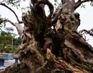 """Độc lạ cây đỗ quyên 400 năm tuổi, được """"quát"""" giá gần 1 tỉ đồng tại Hà Nội"""