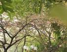 Ngắm hoa anh đào bung nở rực rỡ, khoe sắc trước Tết tại Hà Nội