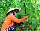"""Giá rau củ tăng cao, nông dân """"xót xa"""" vì không đủ hàng bán Tết"""