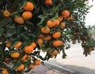 Ngắm cây quýt cổ thụ có 3 tạ quả, giá trăm triệu