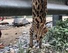 Giải cứu mèo rừng quý hiếm bị bày bán bên đường