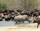 """Tê giác vừa xuất hiện, bầy trâu nước vội vàng chạy dạt """"nhường chỗ tắm"""""""