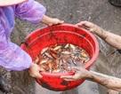 """""""Thủ phủ"""" cá chép đỏ xuất 50 tấn cá phục vụ ông Công ông Táo"""