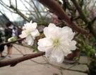 Cây hoa đào trắng tinh khôi hút khách ở chợ hoa xuân