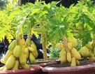 """Đu đủ """"tí hon"""" quả chi chít, vàng óng khoe dáng ở chợ hoa Tết đất võ"""
