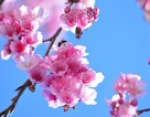 Hoa anh đào Nhật khoe sắc tuyệt đẹp dưới chân núi Fansipan