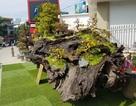 """Gốc cây gỗ sao """"khủng"""", giá gần 1 tỷ đồng hút người xem"""