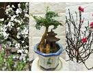 Hoa tuyết mai, đào mini, bonsai siêu nhỏ được dân chung cư chuộng chơi Tết sớm