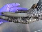 Loài chim kì lạ có chân to lớn giống như chân… khủng long
