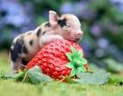 Đón năm Kỷ Hợi, ấm áp ngắm nhìn những bức ảnh chụp lợn con