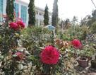 Hoa hồng kiểng hút hàng ngày giáp Tết