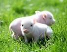 """Kỳ lạ người phụ nữ nuôi bốn chú lợn làm """"thú cưng"""" trong nhà"""