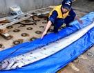 Nỗi sợ các thảm họa tự nhiên từ sự xuất hiện một loài cá hiếm ở Nhật