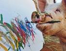 """Đầu năm Kỷ Hợi, thăm chú lợn họa sĩ """"Pigcasso"""" biết... vẽ tranh kiếm tiền"""