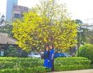 Mai khủng trăm năm tuổi đón năm mới bằng tán hoa vàng rực rỡ