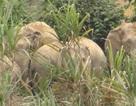 Người đàn ông tử vong trong rừng nghi bị voi quật