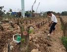 Người trồng đào Phú Thượng tất bật chuẩn bị vụ mới