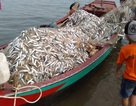 """Trúng mẻ cá """"khủng"""" 100 tấn ngày đầu năm, thu về gần 6 tỷ đồng"""
