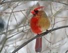 Kỳ lạ chú chim nửa bên trái là cái, nửa bên phải là đực