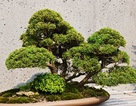 Loạt cây bonsai đắt giá bị đánh cắp, nghệ nhân xin kẻ trộm hãy chăm sóc cây tốt