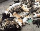 Truy nguyên nhân hàng loạt con mèo chết bất thường