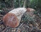 Điều tra vụ phá rừng với quy mô lớn ngay trong dịp Tết Nguyên đán