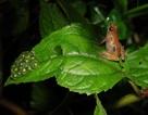 Phát hiện loài ếch mới ở vùng núi Ethiopia hẻo lánh