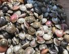 Quảng Ngãi: Kiếm tiền triệu mỗi ngày nhờ trúng mùa ốc gạo