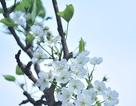 Hoa lê Tây Bắc nở trắng trời thủ đô sau Tết