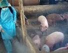 Khẩn cấp ngăn chặn, ứng phó với bệnh dịch tả lợn châu Phi