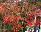 Ngỡ ngàng với rừng phong lá đỏ đẹp lãng mạn, cực hiếm tại Huế