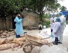 Tổ chức tiêu hủy đàn lợn mắc dịch tả châu Phi