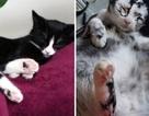 Bệnh hiếm gặp khiến mèo lông đen chuyển thành mèo lông trắng