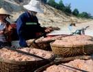 Được mùa ruốc biển, mỗi ngày ngư dân có thể kiếm vài triệu đồng