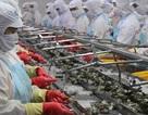 Mục tiêu xuất khẩu 10 tỷ USD: Làm thế nào để tôm Việt có thẻ vàng, thẻ xanh vào Mỹ, châu Âu?