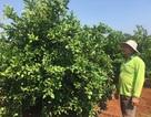 Lão nông trồng chanh trên đất đỏ, thu gần 1 tỷ đồng mỗi năm