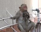 Khỉ mẹ cụt tay vẫn ôm chặt không rời xác của con đã chết khô