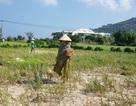 Quảng Ngãi: Hơn 320 ha trồng tỏi của Lý Sơn có nguy cơ mất mùa