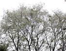 Vẻ đẹp tinh khôi của hoa sưa trên phố Hà Nội
