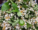 """Cuối mùa, hoa bưởi tăng giá """"chát"""" đến hơn 100.000 đồng/lạng"""