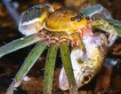 Bất ngờ với cảnh săn mồi của nhện siêu lớn ở rừng rậm Amazon