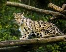 Loài báo đốm quý hiếm tưởng tuyệt chủng bất ngờ xuất hiện trở lại ở Đài Loan
